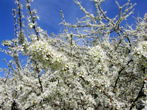 alberi con fiori bianchi foto rami dei fiori bianchi alberi fotografie fiori