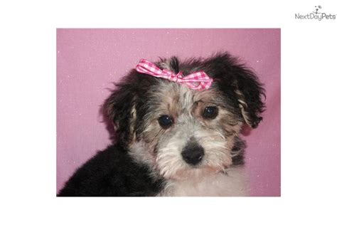 yorkie poo puppy names yorkiepoo yorkie poo for sale for 500 near zanesville cambridge ohio c76b94ec 1251