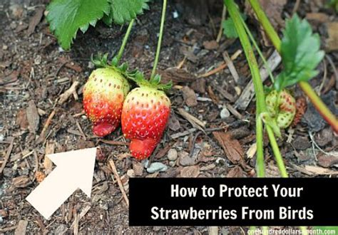 how to protect your strawberries from birds one hundred