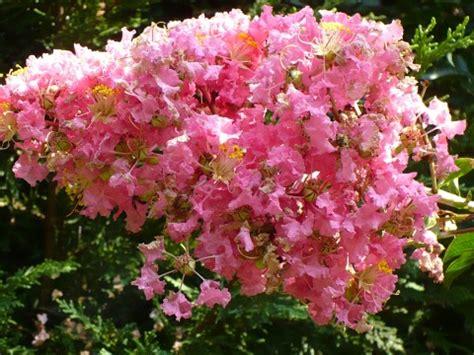 pink flowering shrubs identification identification what is this pink lavender flowering
