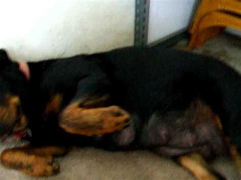 rottweiler pregnancy pregnancy rottweiler dogs ready to deliver puppies