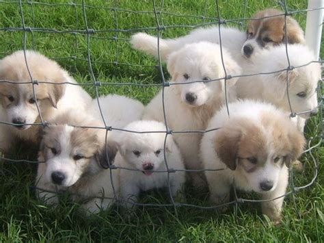 great pyrenees puppies colorado the 25 best great pyrenees puppy ideas on great pyrenees great pyrenees