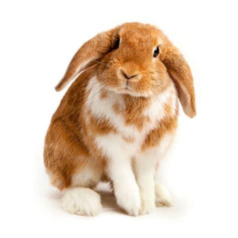 Small Home Animals Neutering Your Rabbit The Park Vet