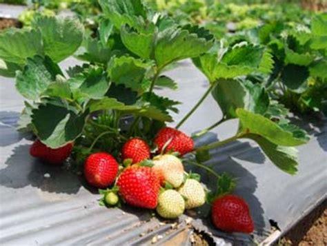 Insektisida Fastac 15 Ec inilah 7 panduan mudah budidaya tanaman buah strawberry