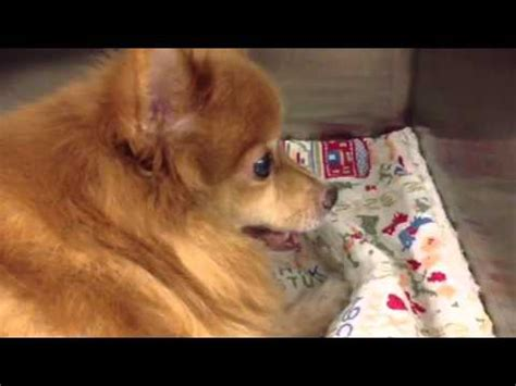 pomeranian coughing treatment dachshund with collapsing trachea funnydog tv