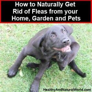 how to get rid of fleas in backyard non toxic flea for your home yard dogs and cats gardens home and pets