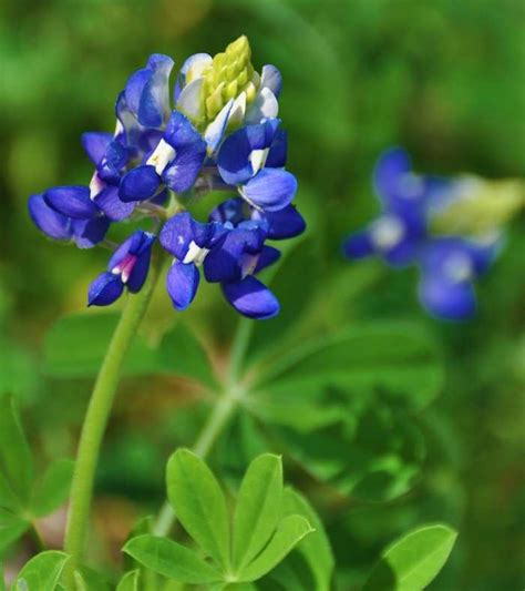 what is a state flower texas state flower pictures pictures reference