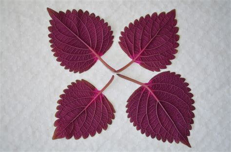 Pohon Bunga Aster Purple Aster gambar daun bunga pola warna gambar pohon bermain daun