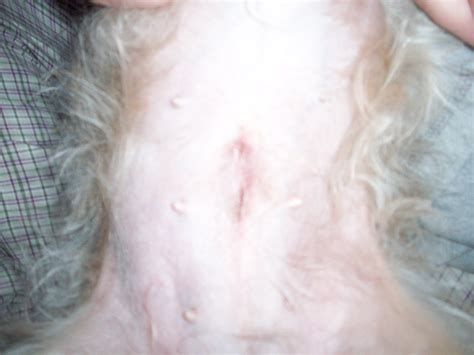 spay incision spay incision swelling pictures to pin on