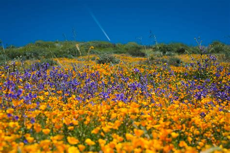california desert flowers california s desert wildflowers burst into bright super