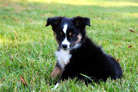 black australian shepherd puppy mini aussie puppies alangus mini aussies a