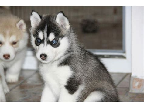 free puppies in iowa husky puppies ready for adoption animals bloomfield iowa announcement 24910
