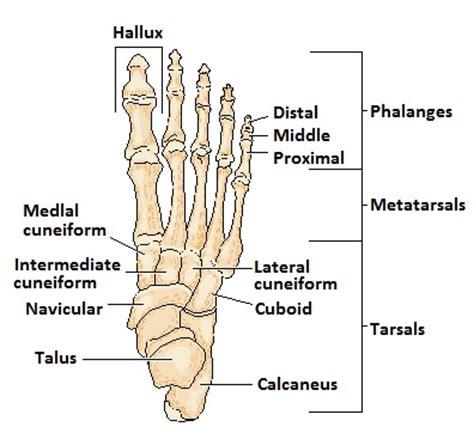 labelled diagram of foot nras national rheumatoid arthritis society
