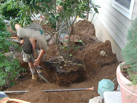 is transplanting a tree or shrub the right decision