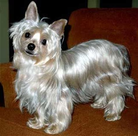 blue yorkie 17 best images about blue and gold yorkie puppies on hair other and i