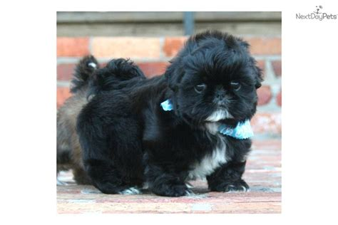 shih tzu puppies houston meet houston imperial a shih tzu puppy for sale for 800 houston imperial 1 77