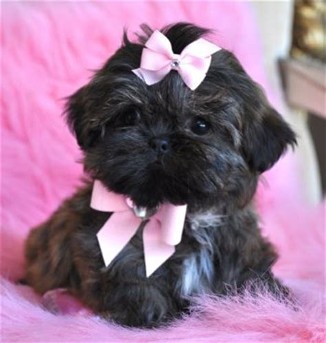 shih tzu for 100 dollars maltese shih tzu puppies for sale book covers