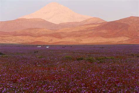 fiore rosa deserto deserto di atacama in rosa il iuogo pi 249 arido pianeta