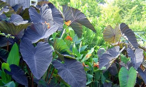 elephant ears colocasia black magic tubers groupon