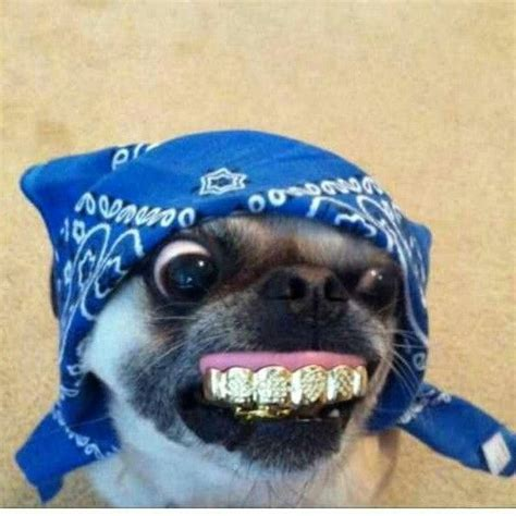 gangster pug pug picture breeds picture
