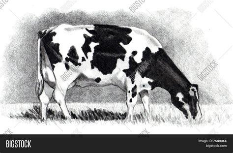 imagenes de vacas a lapiz imagen y foto dibujo l 225 piz de una vaca pastando bigstock
