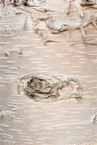 Abstract photograph paper birch betula neoalaskana bark background