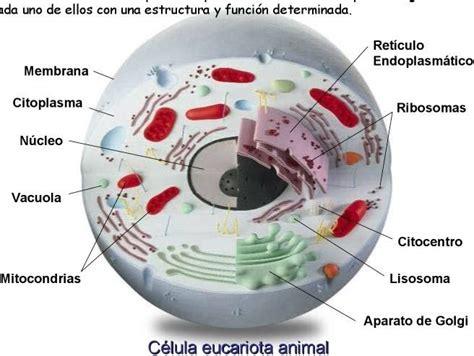 pics photos imagen tomada funciones nucleo ecro quimica funci 243 n del adn en el nucleo celular