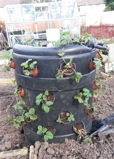 Strawberry Barrel Planter by Make Your Own Strawberry Barrel Allotment Garden Diary