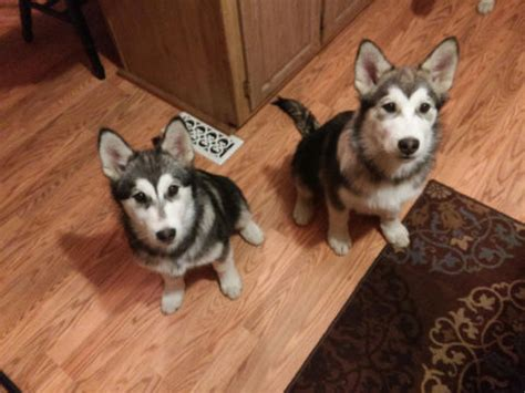 alusky puppies for sale view ad alusky puppy for sale oregon bend usa