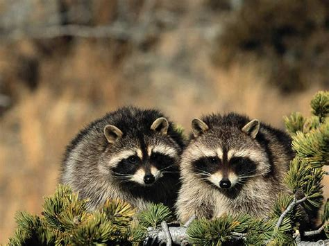 attacks baby raccoons attack baby worms germs