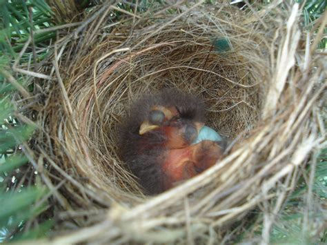 baby birds in nest pics4learning