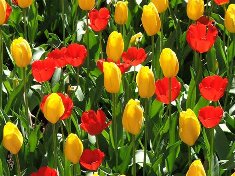 Bush Garden Ta by Free Stock Photos Rgbstock Free Stock Images Tulips