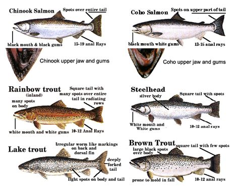 what is the difference beween salmon and sea trout chicago fishing reports chicago fishing forums view