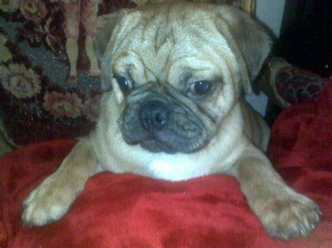 pug puppies panama city fl frenchton bulldog x boston terrier puppies adorable for breeds picture