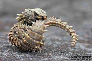 armadillo girdled lizard ouroborus cataphractus dream pet pinterest deserts lizards and
