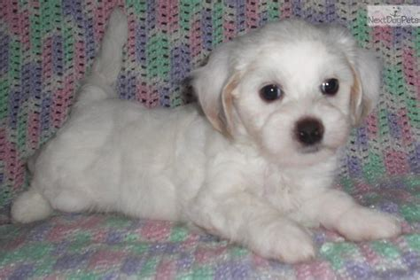 maltipoo puppies for sale in indiana peyton malti poo maltipoo puppy for sale near indianapolis indiana fab337d8 db71
