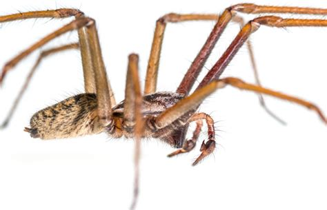 giant house spider seattle that giant house spider will not kill you it s got sex on its mind the big