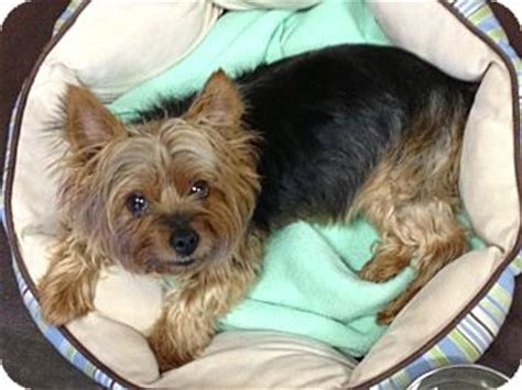 yorkie puppies for adoption in missouri meisha adopted kansas city mo yorkie terrier