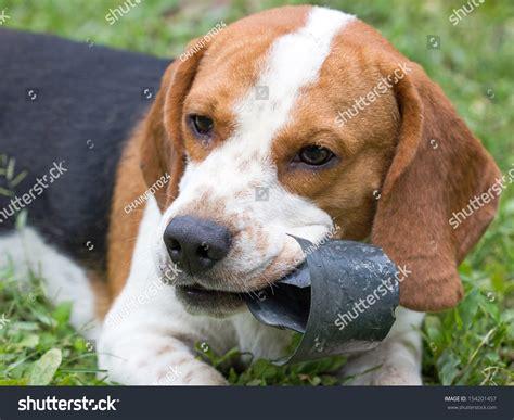 where to buy hush puppies hush puppies stock photo 154201457