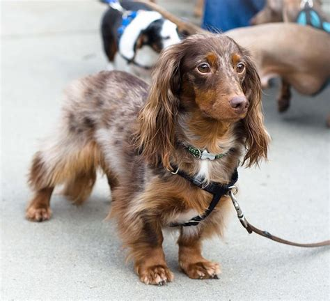 dachshund puppies ta haired dapple dachshund puppies www imgkid