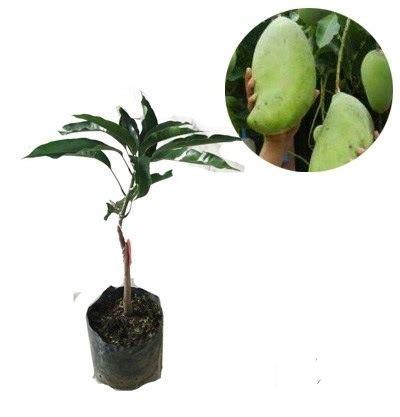 Jual Bibit Mangga Mahatir Semarang jual bibit mangga mahatir jual bibit tanaman dan buah