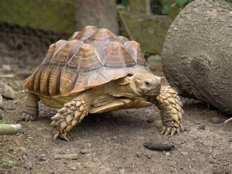 Pyramid Turtle Common reptile facts