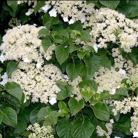 deciduous climbing plants 3 x hydrangea petiolaris climbing deciduous shrub hardy