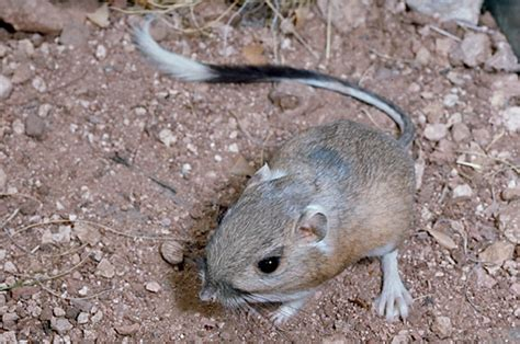 canguro mobili dipodomys spectabilis banner tailed kangaroo rat