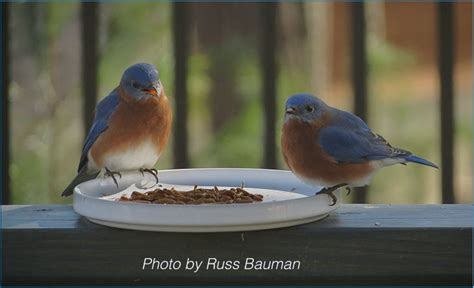 winter pudding recipe north carolina bluebird society
