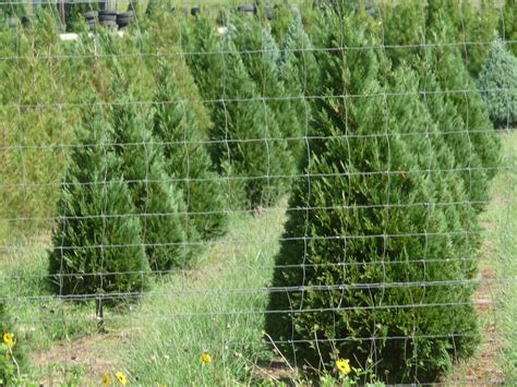 christmas trees for sale in san antonio tx south real estate farm and ranch