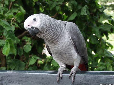 wallpaper grey birds hd animals gray parrot wallpaper
