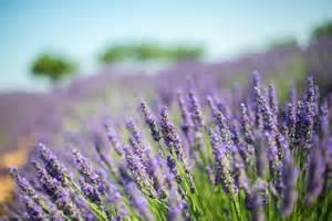 when is lavender in season in michigan les p 233 riodes de floraison de la lavande en provence et