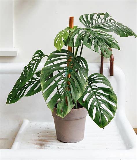monstera adansonii wohnenmitpflanzen plant decor