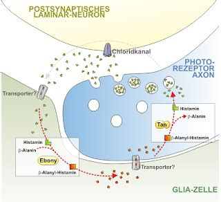 Dinamika Obat chlorpheniramin maleat ctm
